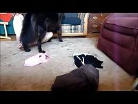 Amateur dog show dog 6