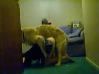 Caledonian humping shylark dog sex