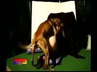 Bfi zsdv008 zoo swingers fucking dog dreams