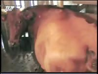 Brown Cow GayBeast.com - Beastiality Dude